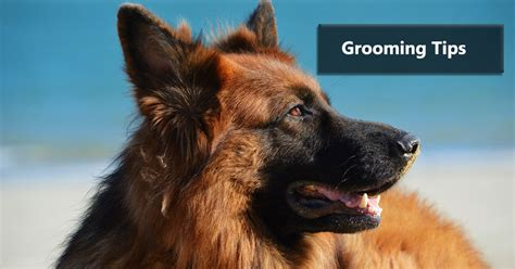 german shephard grooming tips veterinary hub