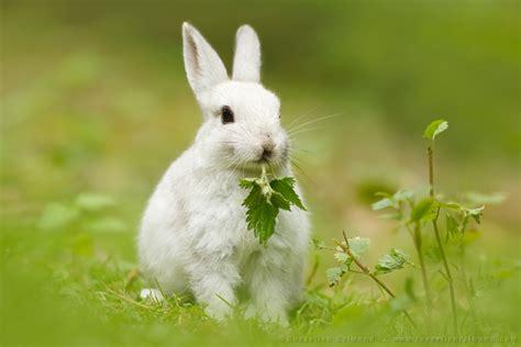 Rabbit White White Rabbit Roeselien Raimond Nature Photography