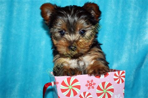 yorkie puppy scams tiny teacup terrier yorkie puppies available now calabasas ca