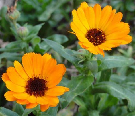 fiore calendula calendula calendula piante annuali calendula annuali