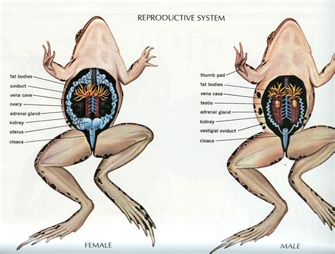 diagram of and reproductive organs urinary and reproductive system of a frog human
