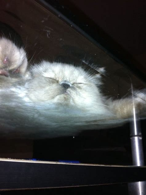 cats on glass tables 16 hilarious pictures of cats sitting on a glass table