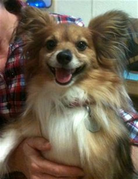 papillon pomeranian mix for sale the world s catalog of ideas