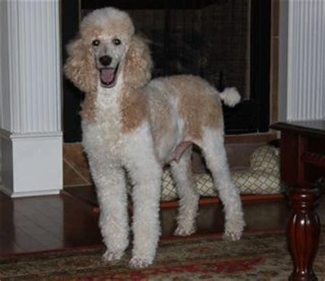 standard parti poodle puppies for sale parti poodle puppies for sale dogs our friends photo