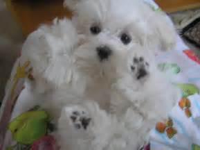 Maltese Puppies Maltese Puppies Akc Chion Pedigrees Babydoll