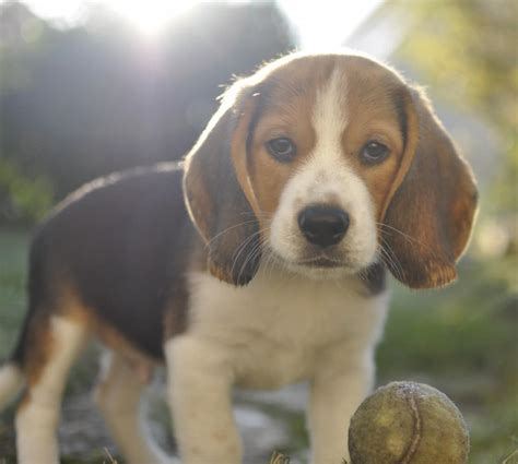 breed information beagle breed information pet365 breeds picture