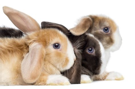 how many breeds are there how many breeds of rabbits are there