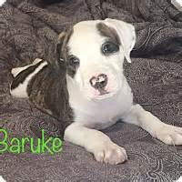 ozzies pound puppies concord ca boxer hound unknown type mix meet baruke a puppy for adoption