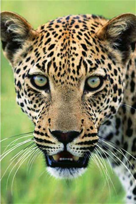 imagenes de jaguar hembra raubkatzen jaguar poster 61x91 5