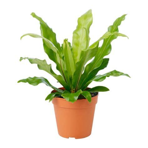 Plant Pots by Asplenium Potted Plant Ikea