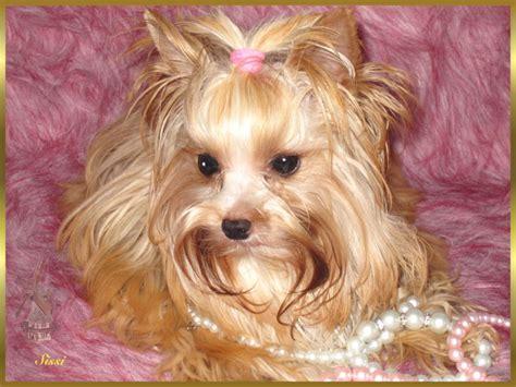 golddust yorkie mutaciones en el terrier
