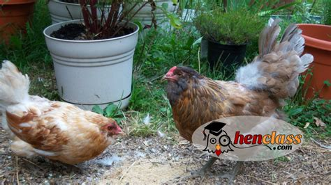 what to feed backyard chickens what to feed chickens to keep them healthy backyard poultry