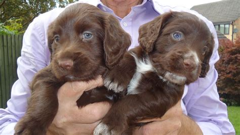 chocolate cocker spaniel puppies chocolate working cocker spaniel puppies bradford west pets4homes