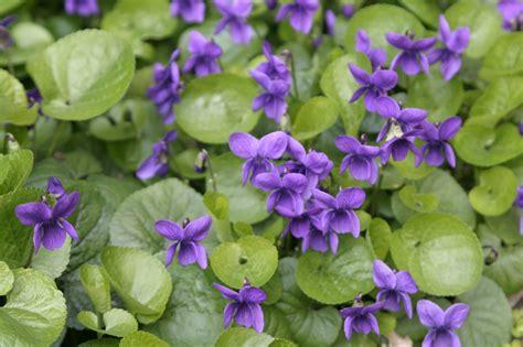 foto fiore viola viola botanica