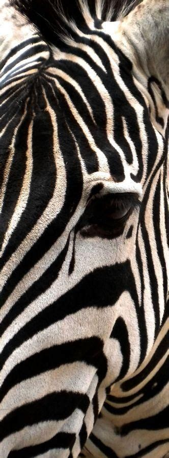 printable zebra face 17 best images about resort printspiration on pinterest