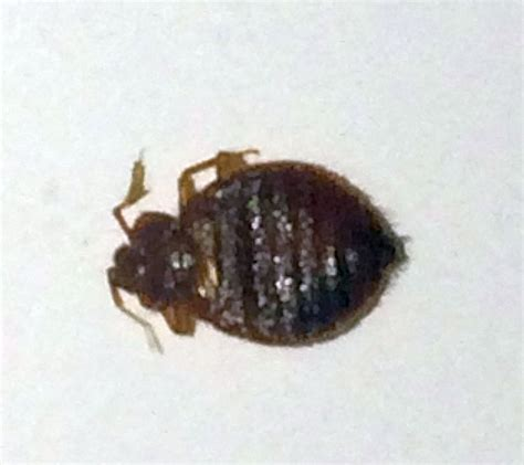 picture of a bed bug bed bug pest control canada