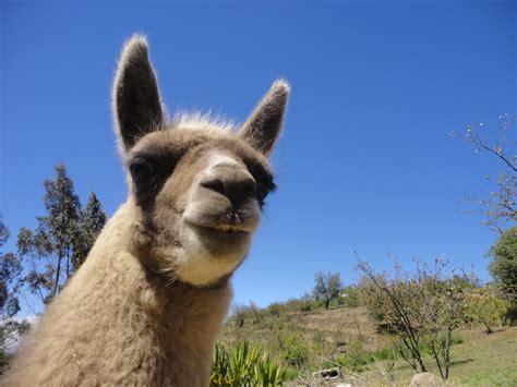 images wildlife pasture fauna llama alpaca animals vertebrate andes ecuador