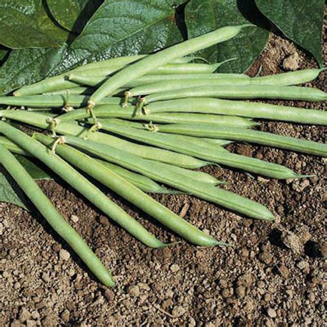 bush bean seeds for sale vegetable garden seeds