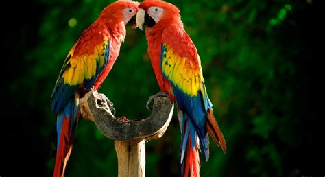 colorful parrot wallpaper colorful parrot birds images photos wallpapers download