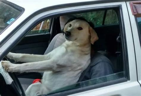 Dog Driving Meme - these 16 wholesome memes nail what it s like to drive today