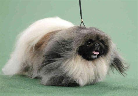 pekingese puppy pekingese puppies rescue pictures information temperament characteristics