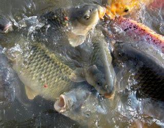 bahan untuk membuat umpan ikan mas cara membuat umpan mancing ikan mas bandung top resep