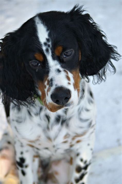what does a setter dog look like english setter so smart lhasas scotties woof