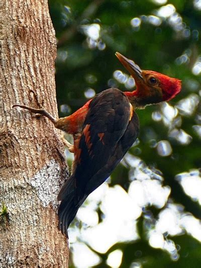 orange backed woodpecker birdforum opus