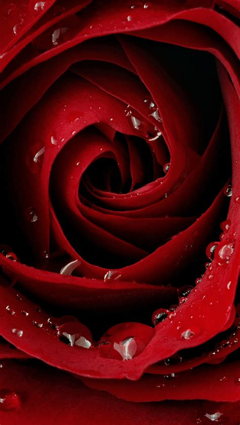 rose wallpaper hd iphone rose wallpaper for iphone wallpapersafari