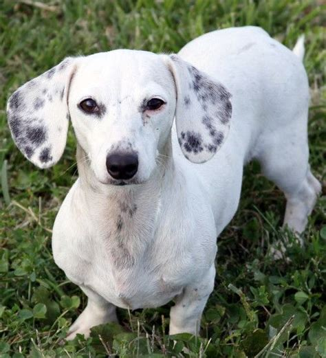white dachshund puppies 17 best ideas about dachshund breeders on dachshunds for sale