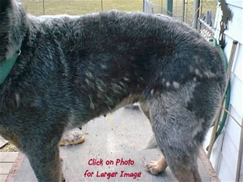 Australian Cattle Shedding by Bk Blue Heeler Puppies For Sale Australian Cattle