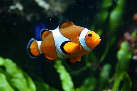 google images fish clown fish google search nature pinterest