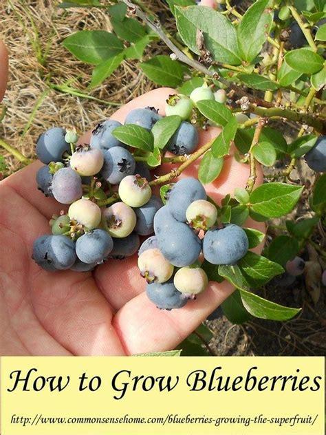 grow blueberries  home soil preparation soil