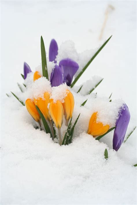 winter flowers 9 best images about snow flowers on pinterest winter