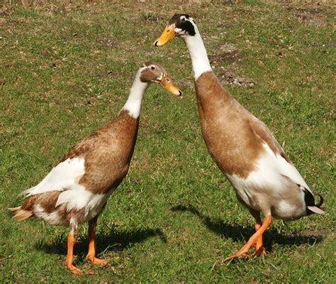 duck breeds duck breed decisions hip digs