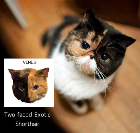 Exotic Shorthair Two faced Cat