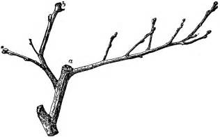 twig l twig of quince clipart etc