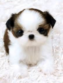 harmful food for shih tzu 1000 images about everything shih tzu on shih tzu shih tzu and