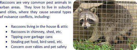 rid  raccoons