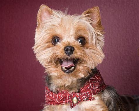my yorkie has bad breath best 25 yorkie dogs ideas on yorkie puppies yorkie and teacup yorkie