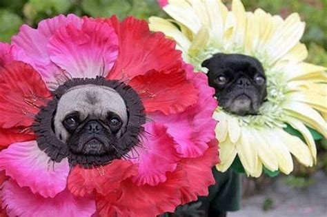 pugs in costumes pictures 30 costumes that prove pugs always win at