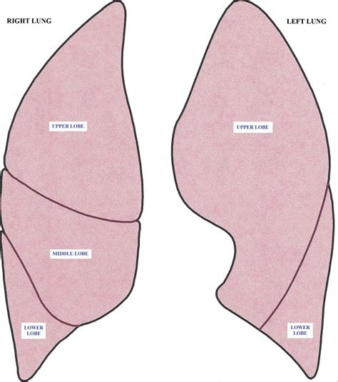 diagram of lung lobes lung lobes