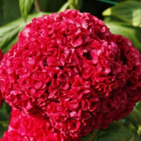 celosia flower 17 best images about celosia detta anche s comb cresta di gallo on