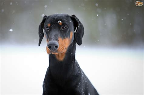 The Doberman and Cervical Disc Disease   Pets4Homes