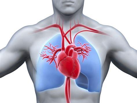 imagenes de corazones sanos cuales son las funciones del coraz 243 n en el cuerpo humano