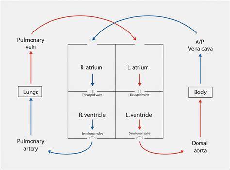 flow of diagram the blood flow diagram anatomy human
