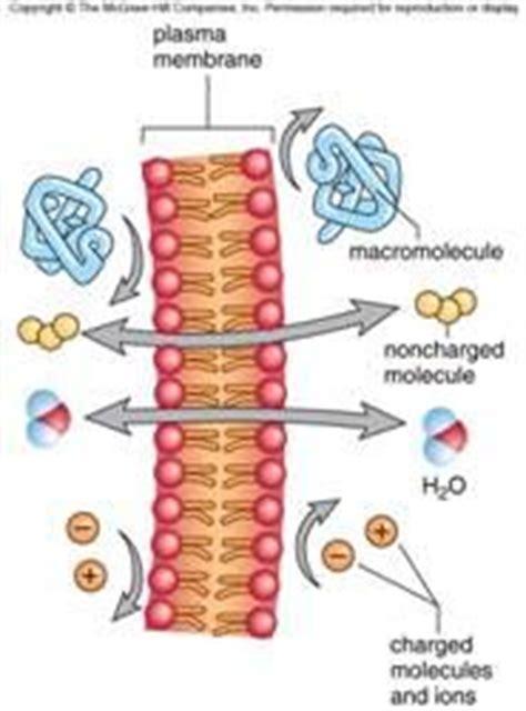 active transport   plasma membrane active