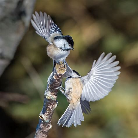 Backyard Birds Ontario A Dominant Species In Many Arenas The 12 Gram Black