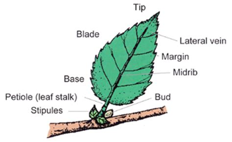 Parts Of A Leaf Worksheet by Plant Leaf Label Clipart Best