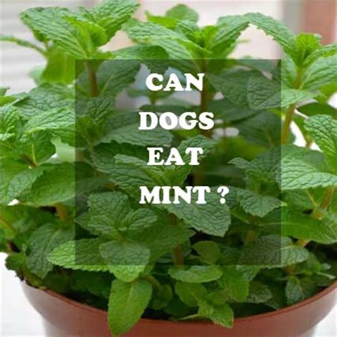 can dogs peppermint can dogs eat mint leaves is peppermint safe or bad for dogs alldogsworld